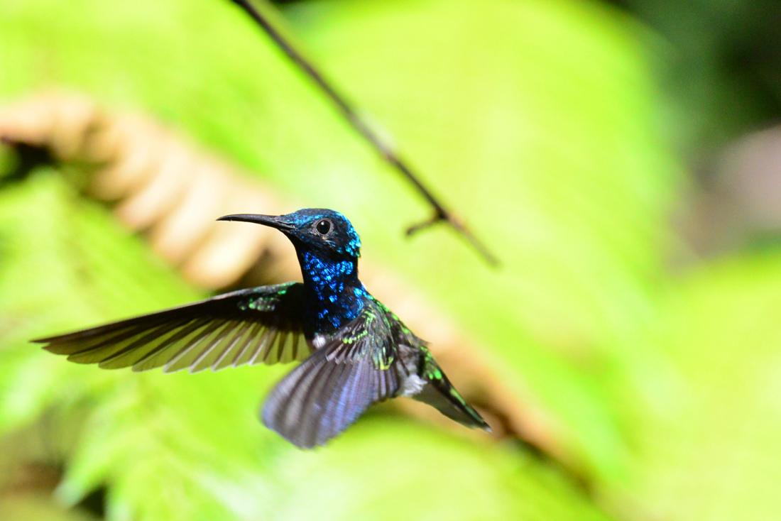Koliber w Mindo