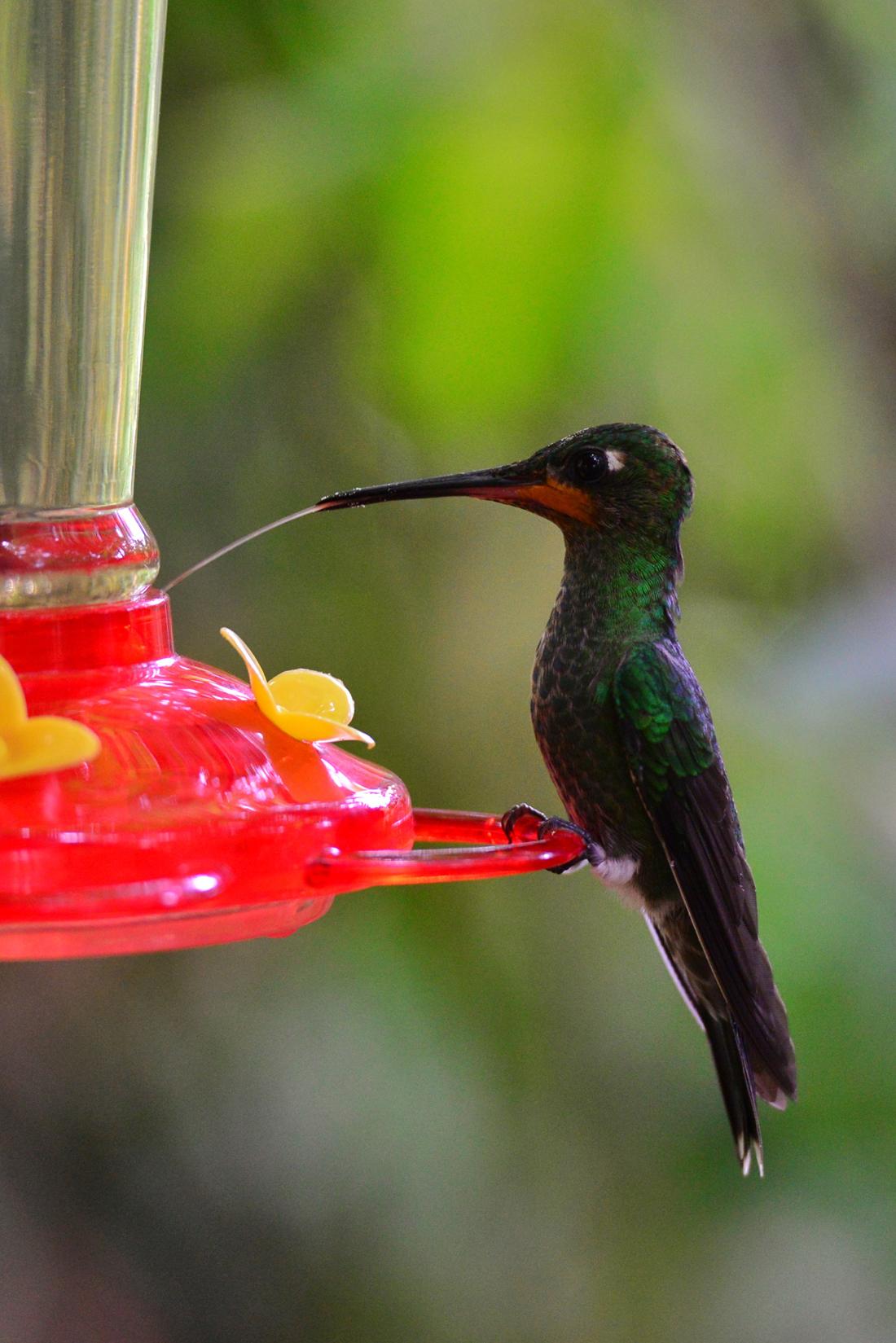 kolibry mindo