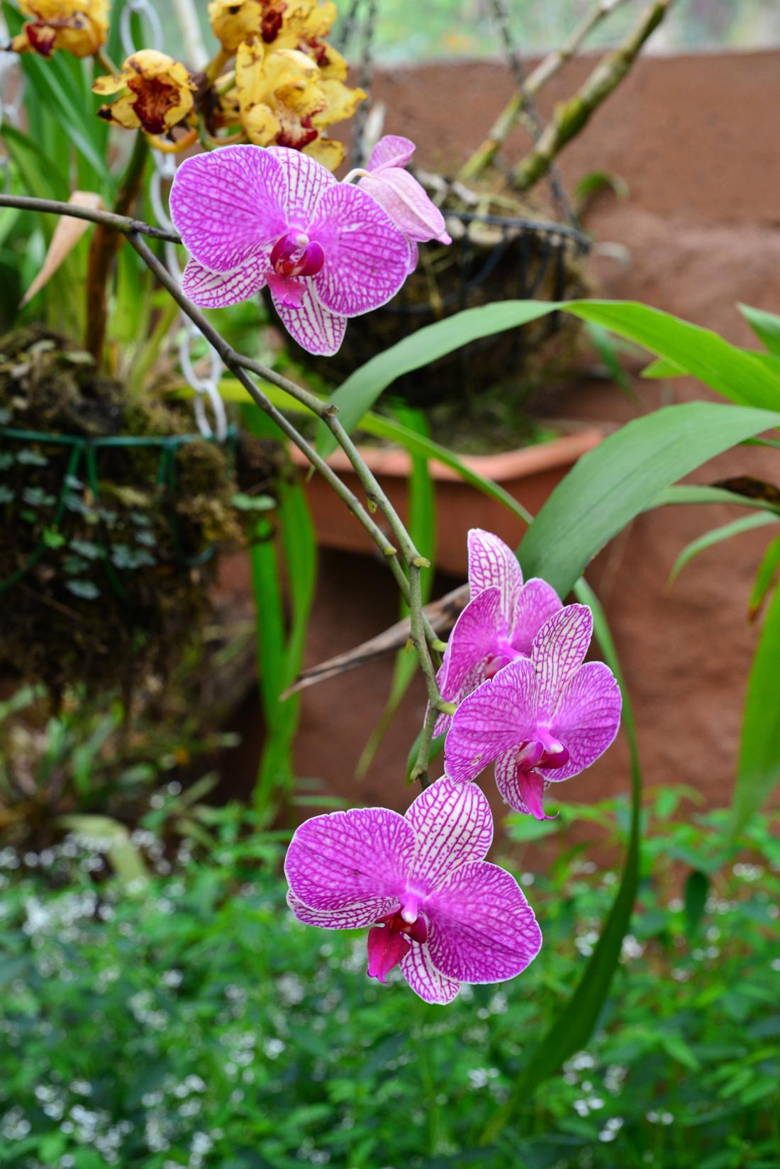 Mindo orchidea