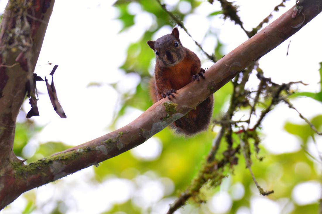 Wiewiórka Mindo Ekwador