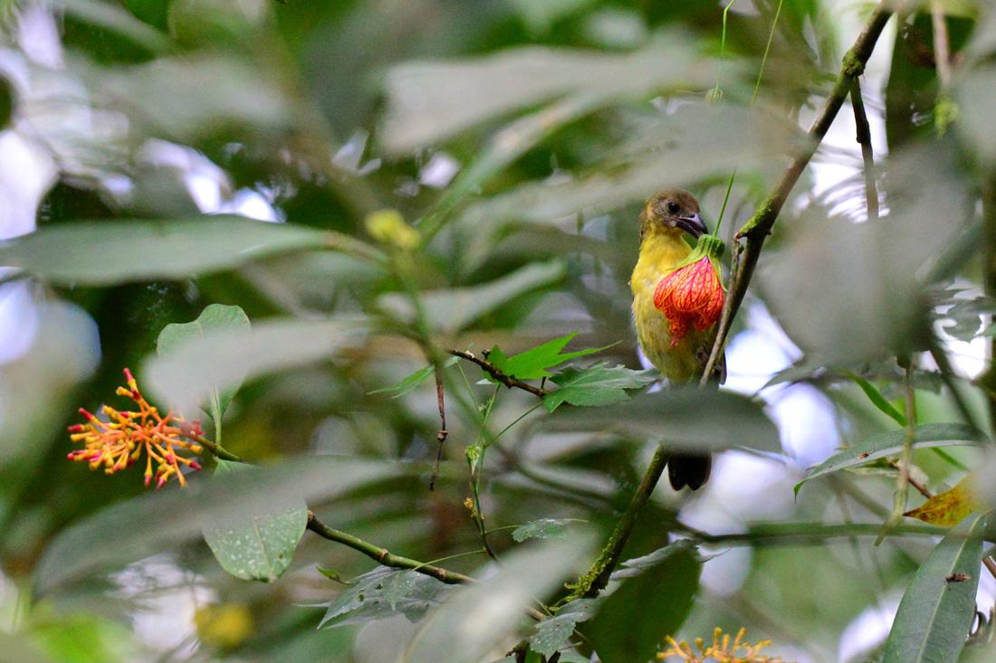 ptak Mindo