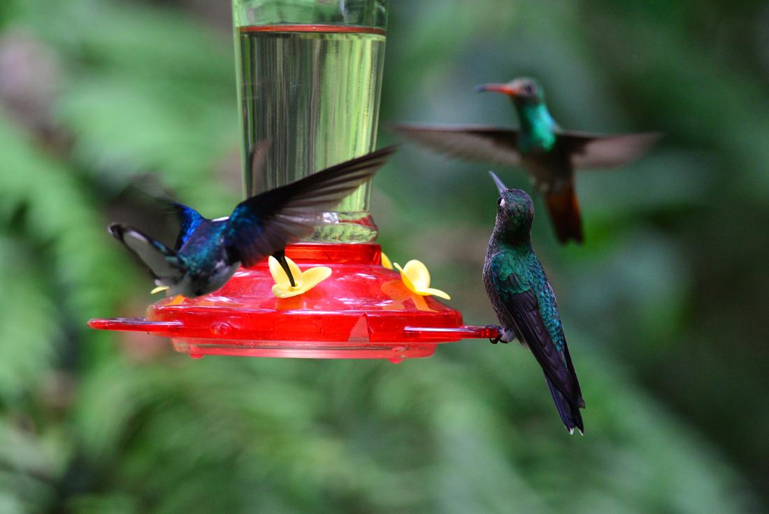 Kolibry w mindo