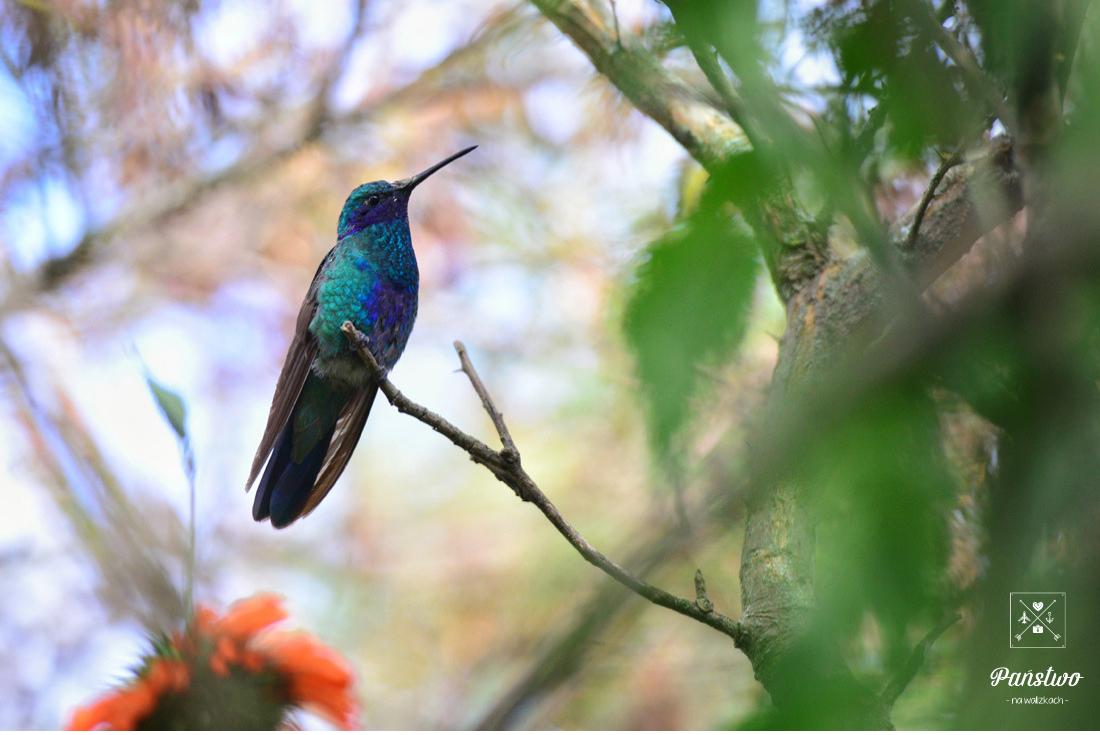 Koliber Ekwador Państwo na Walizkach