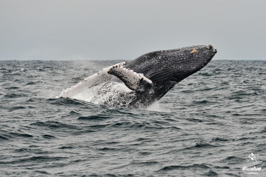 Wieloryby Puerto Lopez Ekwador